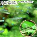 (熱帯魚)アフリカン・ランプアイ Sサイズ(20匹) + オトシンクルス(3匹) 北海道・九州・沖縄航空便要保温