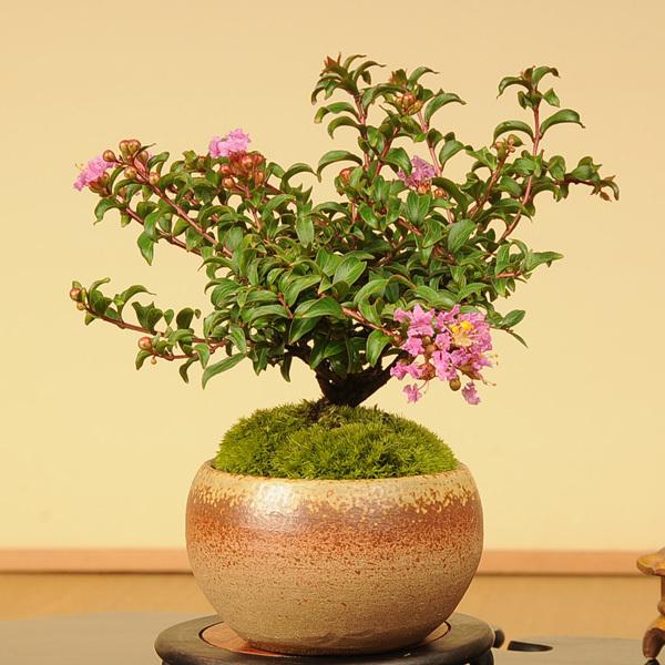 小品盆栽:サルスベリ(瀬戸焼小鉢)【送料無料】
