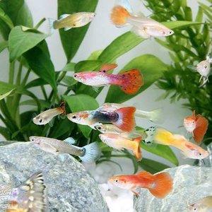 新作人気モデル (熱帯魚)外国産ミックスグッピー(100ペア) 北海道・九州航空便要保温, ヨネヤマチョウ:9766fded --- frmksale.biz