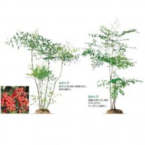 店舗良い オンリーワン 植栽・樹形美 ナンテン(赤実) UN6-TJNA  【オンリーワン】美しい樹形を選ぶ, レーヴ:8ea61775 --- 5613dcaibao.eu.org