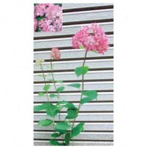 超歓迎された オンリーワン 植栽・美しい花 アジサイ・ピンクのアナベル KJ6-TUAP  【オンリーワン】人気の花木をお届けします。, 鏡町:3751cfa3 --- abizad.eu.org