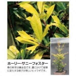 優先配送 オンリーワン 植栽・美しい葉 ホーリー・サニーフォスター UN6-THAF, カワイチョウ d8e01199