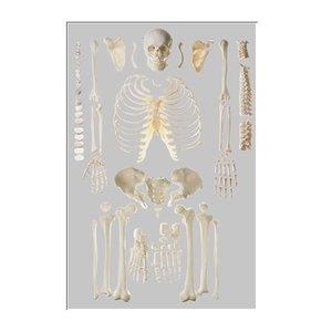 逆輸入 【送料無料】 模型Human Model 骨格分離模型 全身 高さ26cm×幅50cm×奥行31cm 8.75kg QS40/1 ソムソ, 湯前町 665f4cb8