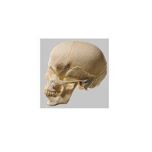 スーパーセール期間限定 【送料無料】 模型Human Model 頭蓋骨分解模型 18分解、無地 18分解【送料無料】、無地 640g 640g QS8/218 ソムソ ソムソ社製。実物大。ソムソープラスチック製, CHAIR OUTLET:e0324cab --- ccnma.org