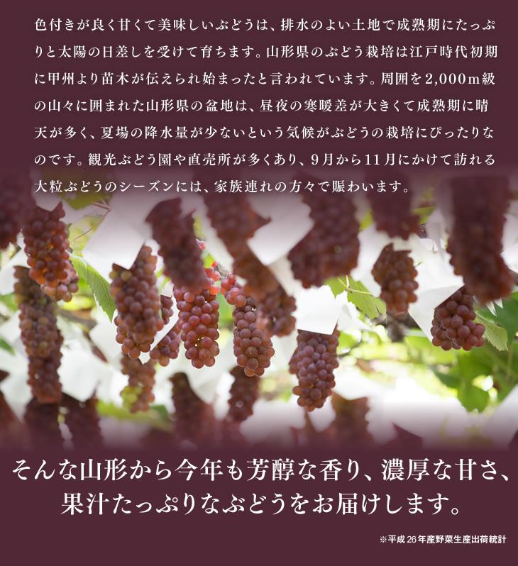 色付きが良く甘くて美味しいぶどうは、排水のよい土地で成熟期にたっぷりと太陽の日差しを受けて育ちます。山形県のぶどう栽培は江戸時代初期に甲州より苗木が伝えられ始まったと言われています。周囲を2,000m級の山々に囲まれた山形県の盆地は、昼夜の寒暖差が大きくて成熟期に晴天が多く、夏場の降水量が少ないという気候がぶどうの栽培にぴったりなのです。観光ぶどう園や直売所が多くあり、9月から11月にかけて訪れる大粒ぶどうのシーズンには、家族連れの方々で賑わいます。