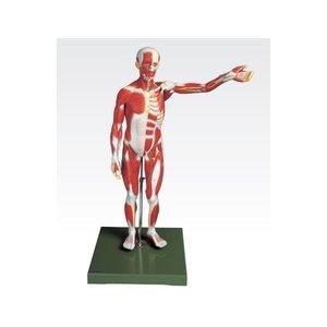 大きな割引 10000円以上送料無料 人体筋肉模型 【3分解】 右腕・左腕とりはずし可 J-111-3【】 ホビー・エトセトラ 科学・研究・実験 その他の科学・研究・実験 レビュー投稿で次回使える2000円クーポン全員にプレゼント, ハワイラニジュエリー&雑貨 bc9b1378