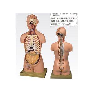 【おしゃれ】 【送料無料】トルソ人体モデル/人体解剖模型 ホビー・エトセトラ【20分解】 主要臓器とりはずし可 J-113-1【】 科学・研究・実験 ホビー【20分解】・エトセトラ 科学・研究・実験 その他の科学・研究・実験 レビュー投稿で次回使える2000円クーポン全員にプレゼント 品質、保証もしっかりさせていただきます, アールエスハンガースタジオ:9d730c6c --- mashyaneh.org