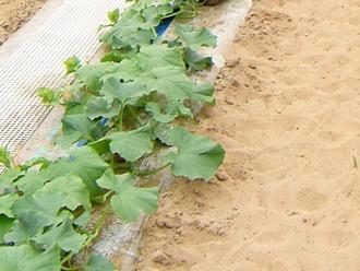 水はけのいい砂丘地はメロンに最適