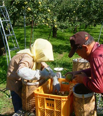 洋梨ラフランス栽培の様子