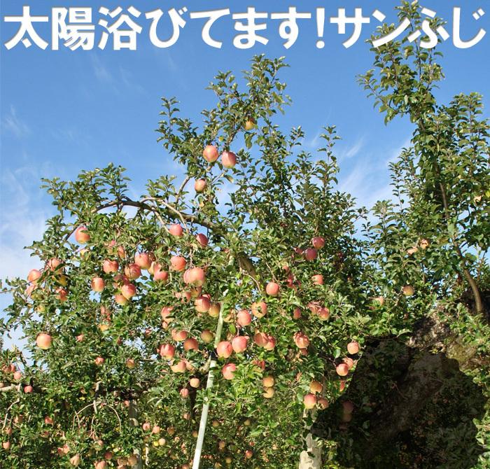 サンふじは太陽をたっぷり浴びせて栽培したふじ林檎