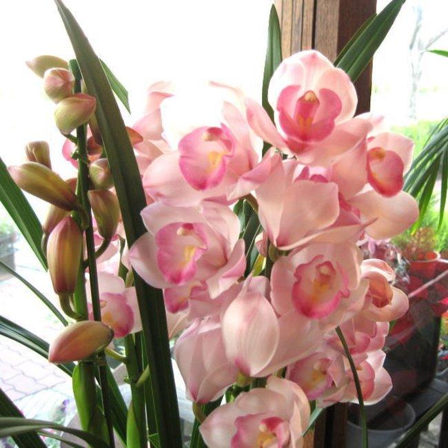 シンビジューム 4本立ち以上 鉢植え 洋蘭 洋ラン 送料無料... 薫る花 ...