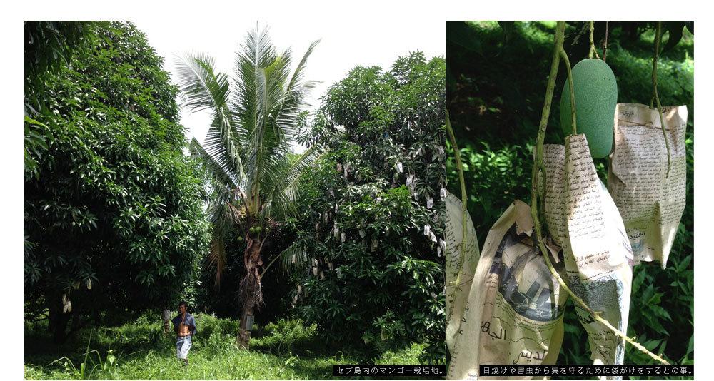 マンゴー栽培