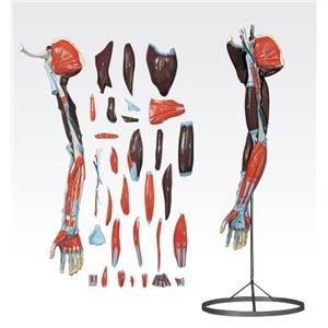 【超安い】 その他 上肢模型/人体解剖模型 【31分解】 J-119-1【】 ds-1877935, 人形工房 北寿 82c645c9