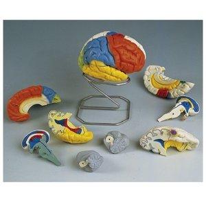 【爆買い!】 その他 京都科学 脳8分解神経学モデル C22 (14×14×17.5cm) 11-2091-00【納期:1週間】, リバティハウス c4c86c6b