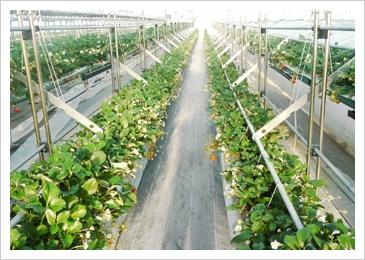 苺がぶら下がっているため、苺が土などに触れていないため痛みにくく、衛生的な栽培方法です