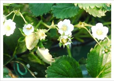 苺の白い花の中を蜜蜂がクルクル回り授粉します