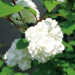 完成品 オオデマリ(大手鞠 テマリバナ)白花 植木 庭木 花木 苗木 落葉低木, MIZOGUCHISPORTS efc6be02