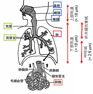 人の呼吸器と粒子の沈着領域(概念図)出典:国立環境研究所資料)