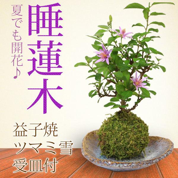 苔玉:睡蓮木(益子焼三角霜降受け皿付)