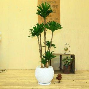 【正規品質保証】 【送料無料】観葉植物:ドラセナ コンパクタ*陶器鉢(受皿付き)(大型ヤマト便配送) しっかりと伸びた枝に濃緑の力強い葉姿で存在感抜群♪, あみのエーワン:e62e31ff --- turkeygiveaway.org