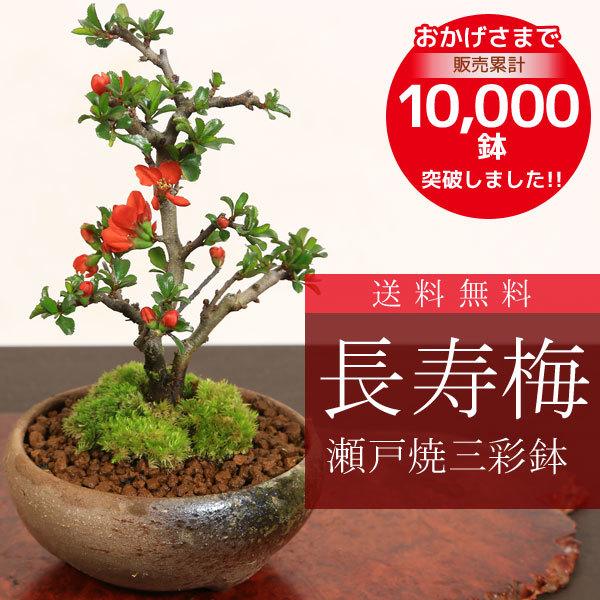 ミニ盆栽:長寿梅(瀬戸焼三彩鉢)