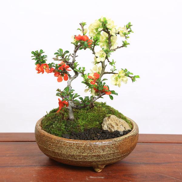 小品盆栽:紅白長寿梅寄せ(信楽焼小鉢)