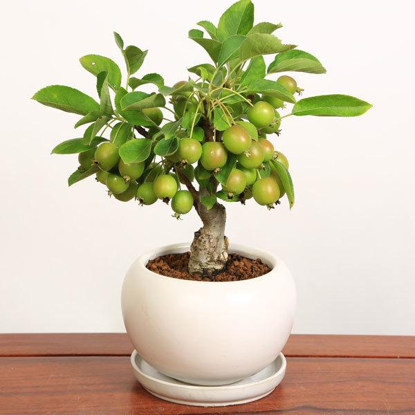 小品盆栽:姫りんごちゃん(瀬戸焼鉢)