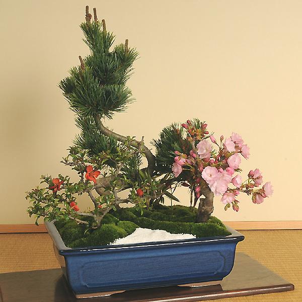 盆栽:桜・五葉松寄せ*【送料無料】