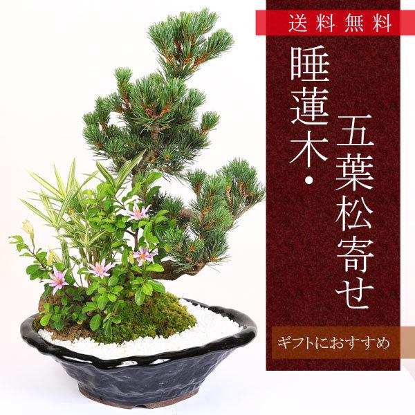 盆栽:睡蓮木・五葉松寄せ
