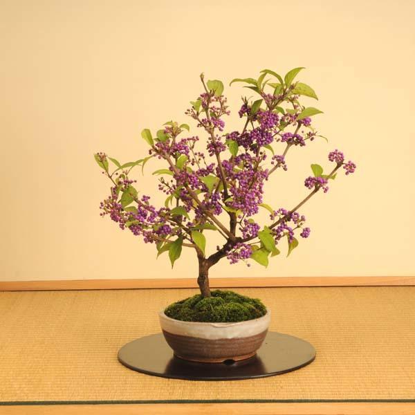 中品盆栽:紫式部(信楽焼鉢)