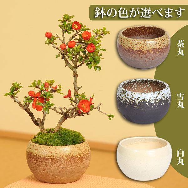 小品盆栽:長寿梅(瀬戸焼小鉢)*【送料無料】鉢が選べる