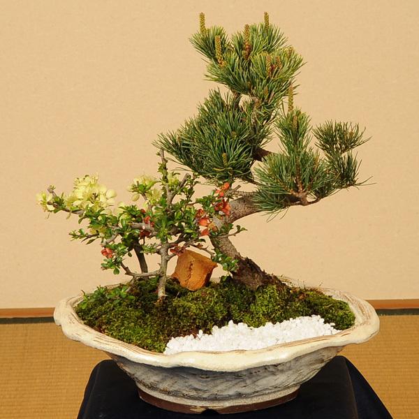 盆栽:五葉松・紅白長寿梅寄せD(白釉変形鉢)