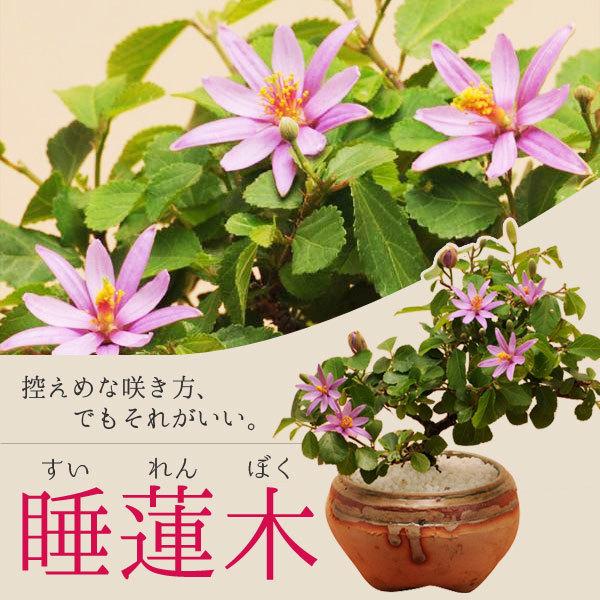 小品盆栽:睡蓮木(信楽焼小鉢)
