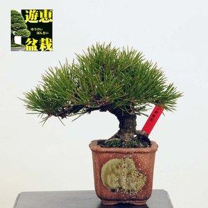 訳あり 小品盆栽:三河黒松【現品】*Kuromatsu【送料無料】 Pinus thunbergii, 片品村:0c98f4c0 --- vouchercar.com