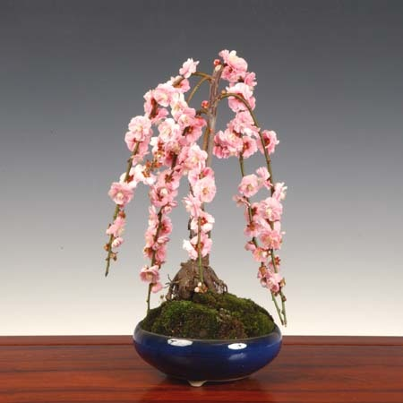 小品盆栽:しだれ梅