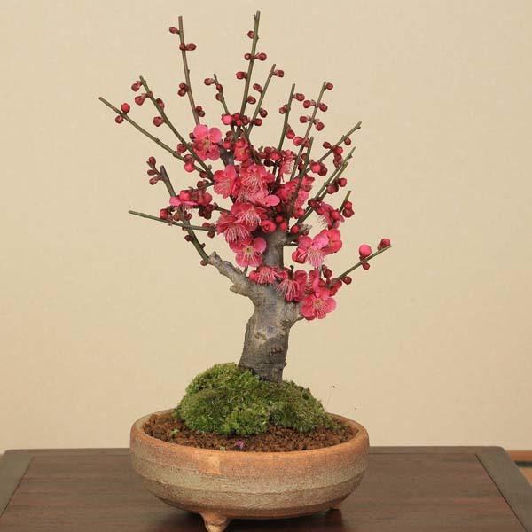 盆栽:紅梅(信楽焼鉢)