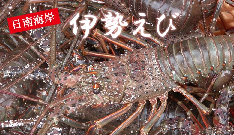 【期間限定】日南海岸で水揚げしたての伊勢海老(イセエビ 500g) </a> </div></div><br>    <div style=