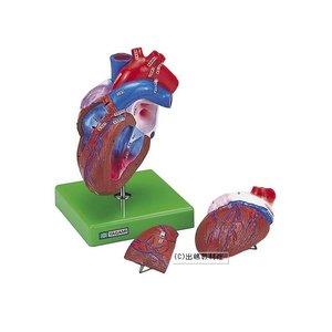 美しい 心臓の構造模型, 福地村:ad18ca8e --- ancestralgrill.eu.org